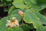 蓮の種DSC_0101