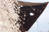 阿亀桜吹雪釈迦堂の屋根ら舞う