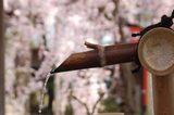 清めの水越しに紅枝垂桜を覗く