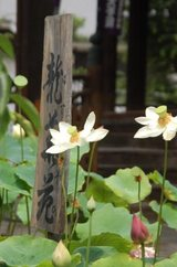 蓮の苑立本寺立て札と蓮DSC_0104
