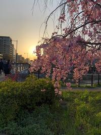 鴨川・桜�