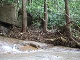 根の浅い挿し木のスギ