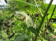 キイロスズメバチとサラシナショウマ