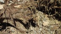 挿し木の根