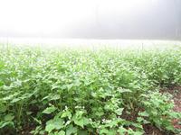 霧の中のソバ畑