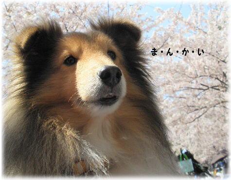 2011桜2