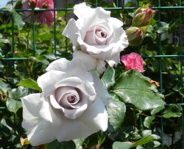 中嶋さんのバラ