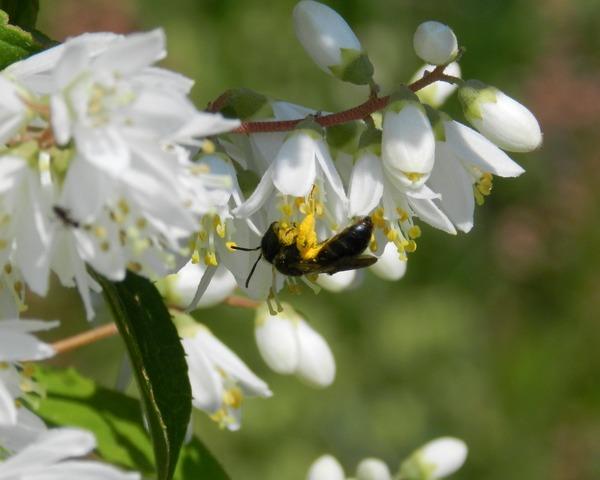 ウツギの花と、ヒメハナバチ