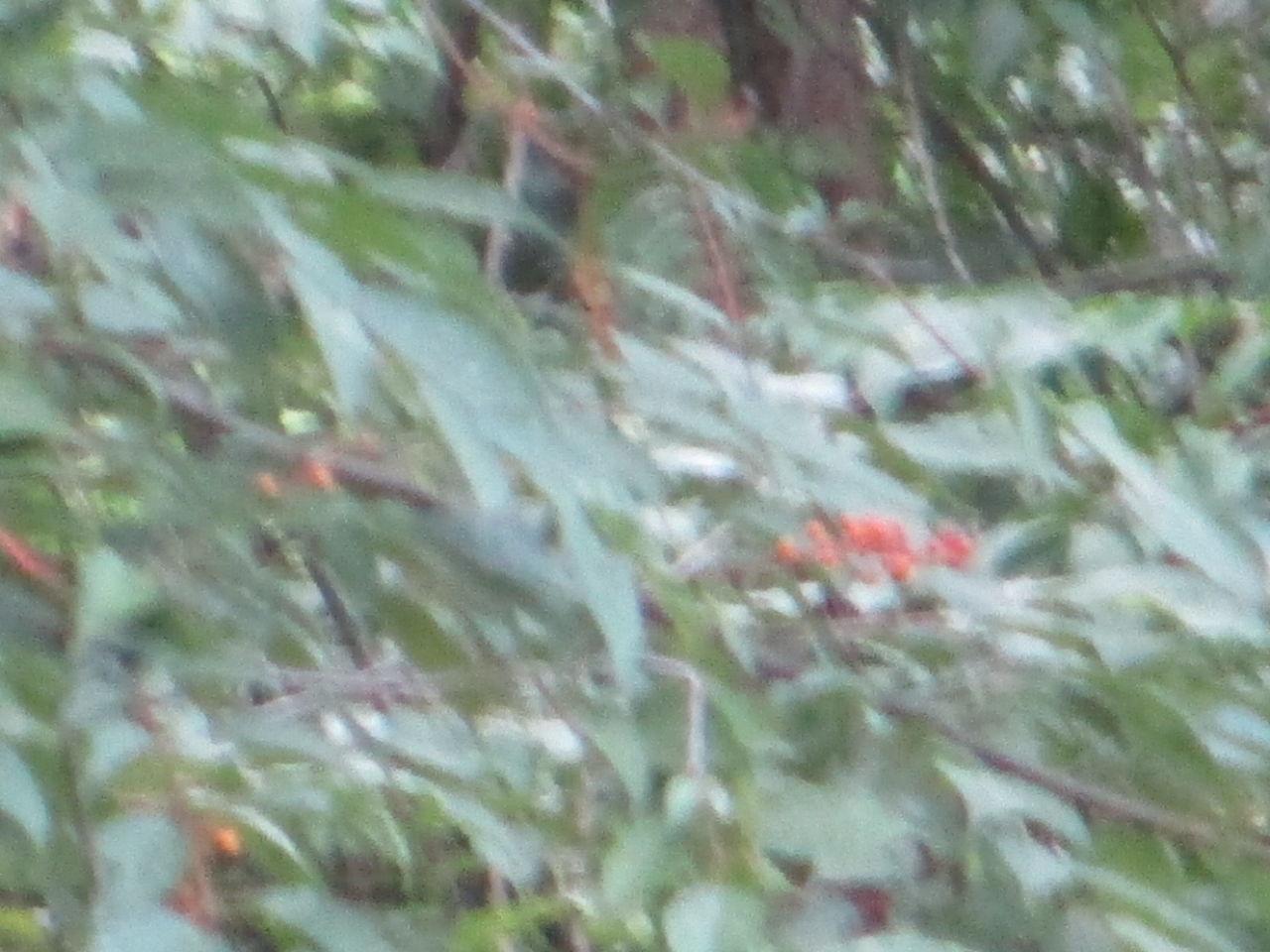 ミズメの画像 p1_36
