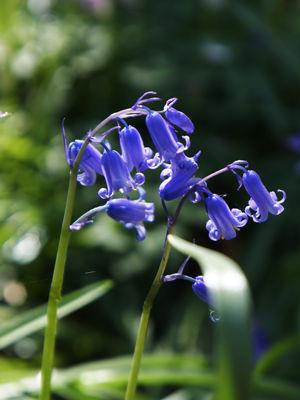 bluebell18