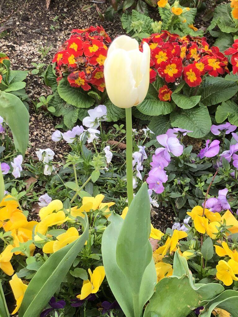 花 黄色 言葉 チューリップ
