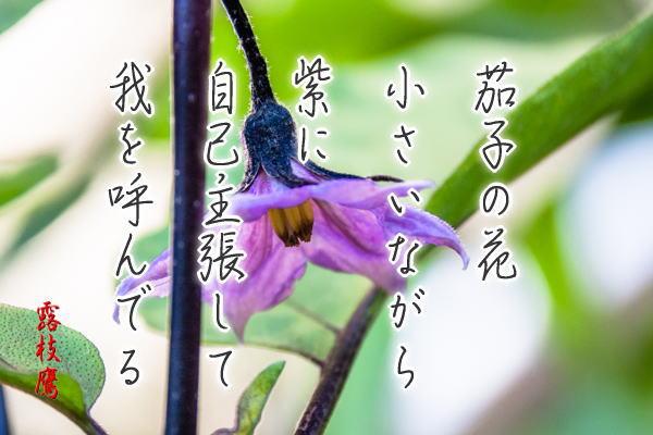 茄子の花小さいながら紫に自己主張して我を呼んでるphtw
