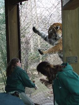tiger enrichment2