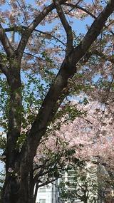 2017・葉桜