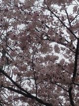 今年の桜2 2016