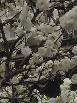 桃の花 2016