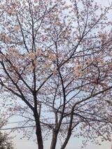 今年の桜2016