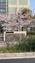 京都の桜 2019