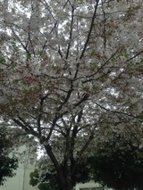 葉桜2015/04/07