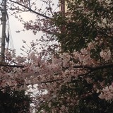 今年の桜2015/03/29