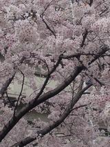 今年の桜3 2016