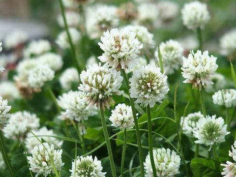 31-6-15三つ葉の花1輪前後白ボケ2
