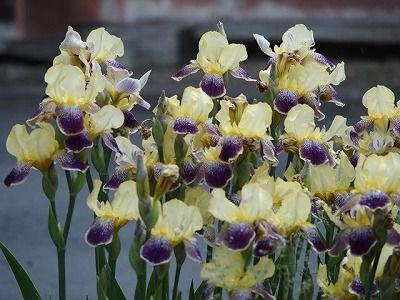 31-6-4アイリス黄紫多数