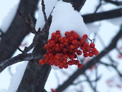 令-11-19曙3条街路樹ナナカマド赤い実雪帽子2
