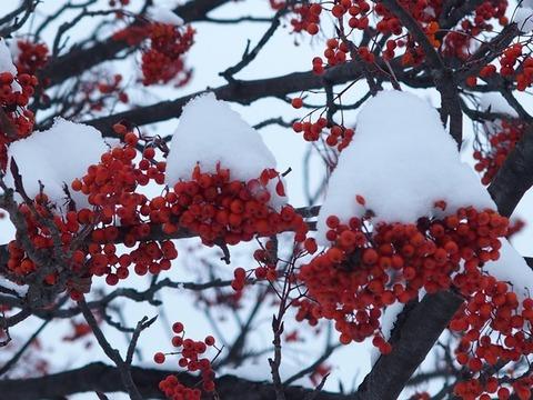 令-11-21曙3条街路樹ナナカマド赤い実雪帽子2輪