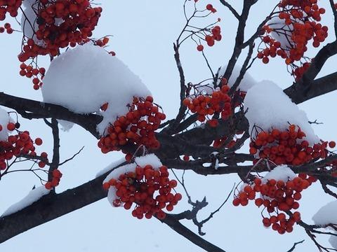 令-11-21曙3条街路樹ナナカマト枝赤い実雪帽子
