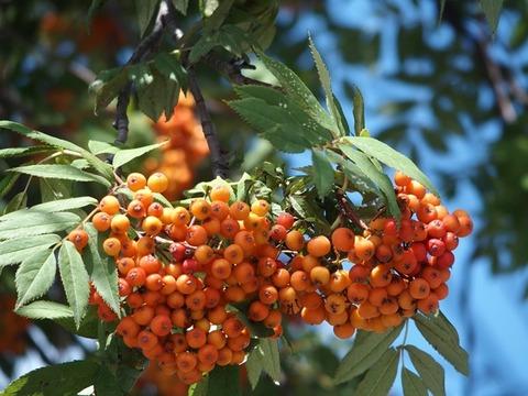 31-8-27曙3条街路樹ナナカマド枝右実橙