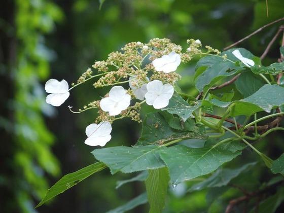 令和2-6-2外国樹種見本林のつるアジサイ左枝
