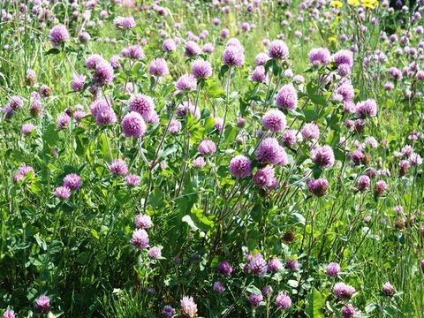 31-6-14三つ葉クロバーの花全面紫