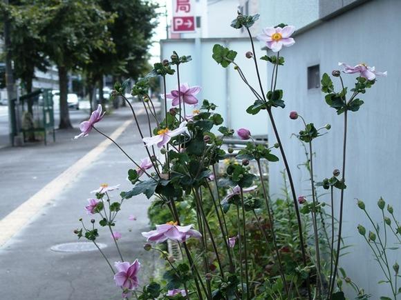 令和2-9-7曙1-6路シュウメイキク1輪花薄紫茎
