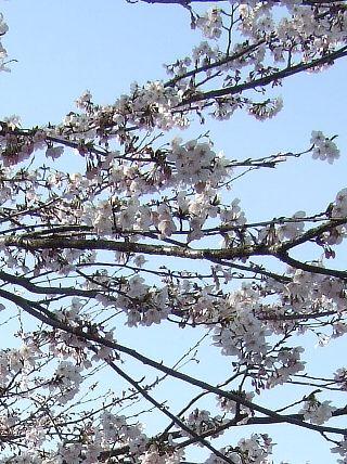 0407桜02
