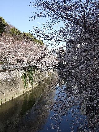 神田川の桜01