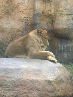 旭山Zooライオン