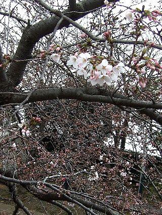 0403桜02
