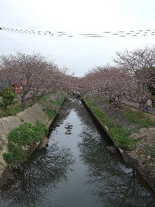 0403桜01
