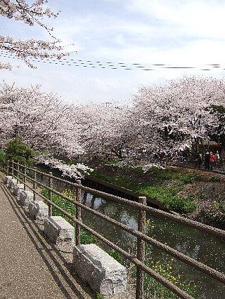 0411桜02