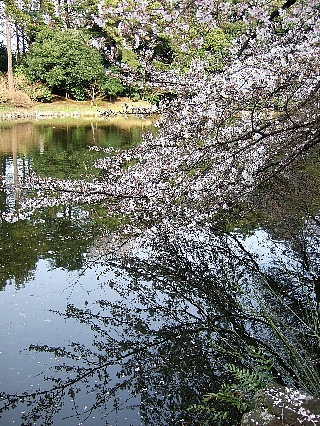 新宿御苑の桜06
