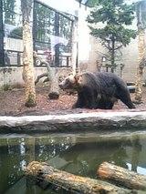 旭山Zooヒグマ