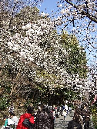 神田川の桜04