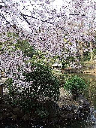 新宿御苑の桜08