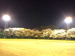 石神井の桜