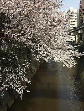 江戸川橋の桜03