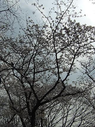 代々木公園の花見04