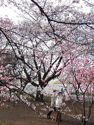 新宿御苑の桜03