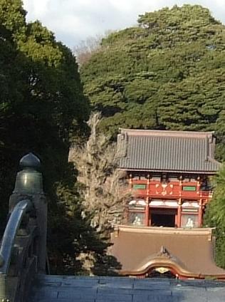 鶴ヶ丘八幡大銀杏04