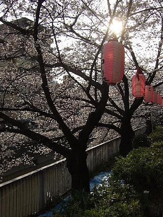 江戸川橋の桜02